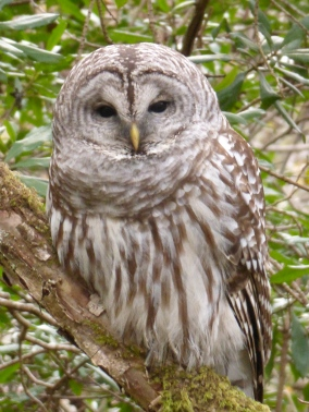 Barred Owl, Waiting for Her Chance