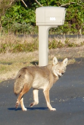 The Coyote, Wanting Nothing to do with me